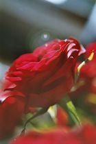 Rosenträumerei