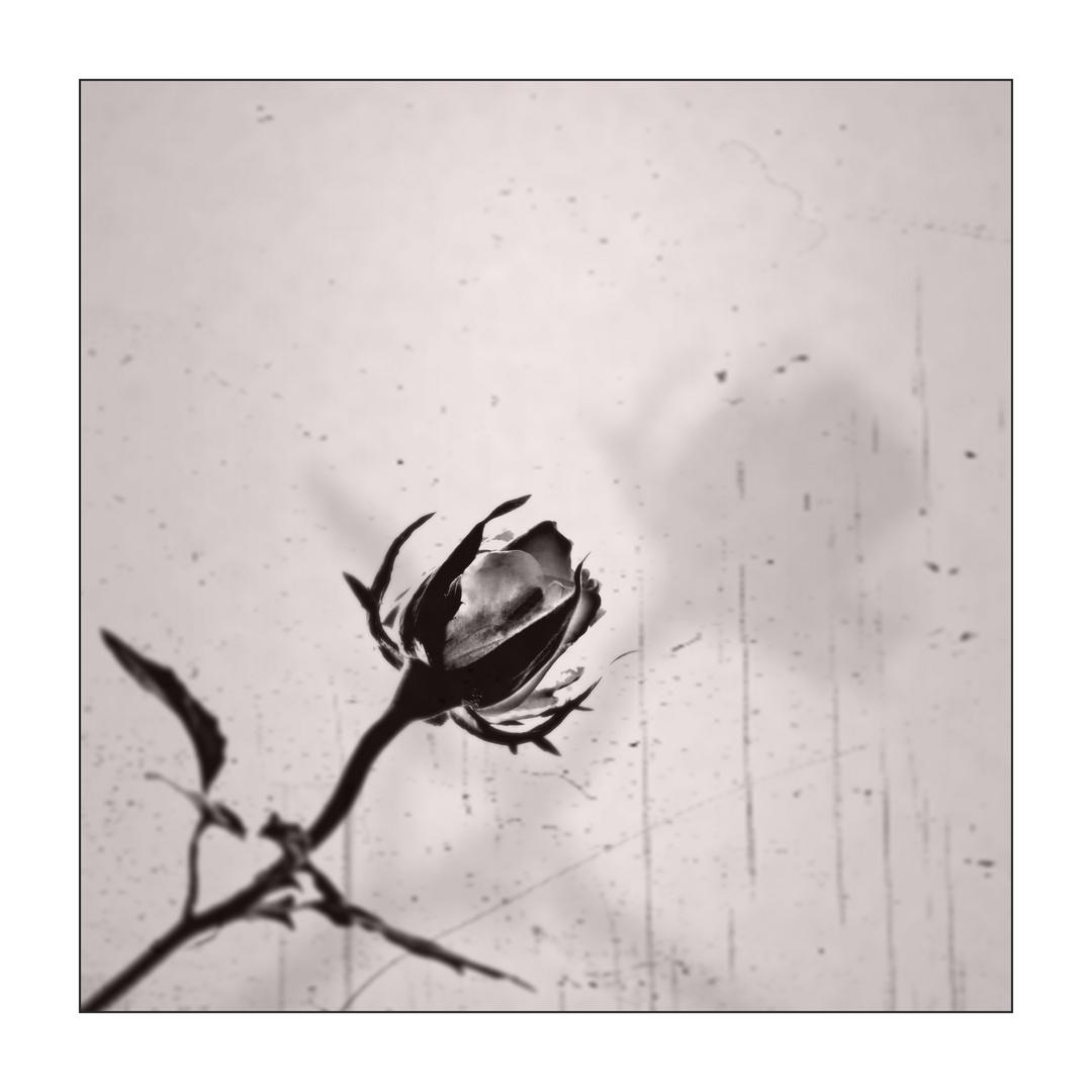 Rose.nur