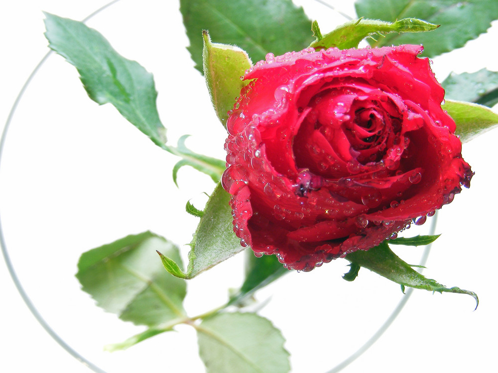 rosenverzauberung