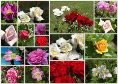 Rosenvielfalt..