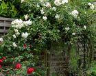 Rosenwand in Hedwigs Garten