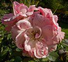 Rosenzeit (2)