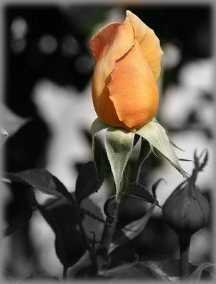 Rosenzeit....
