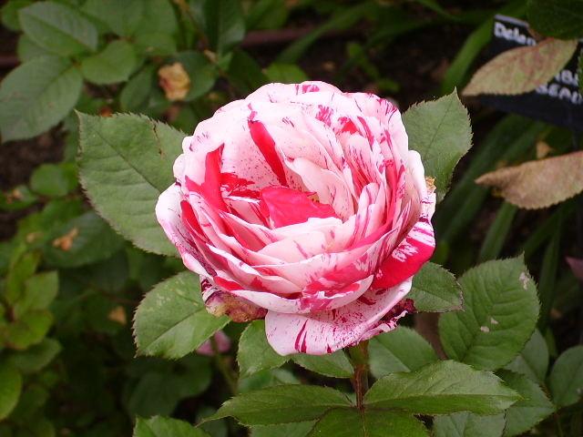 roseraie du Prieuré St Cosmes à Tours