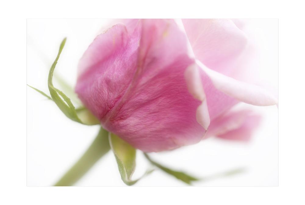 ...roses....