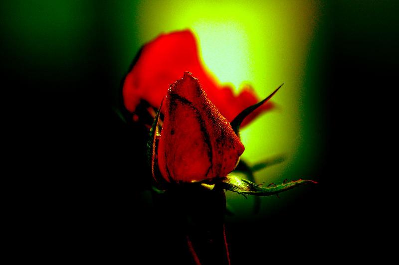 roses !!!