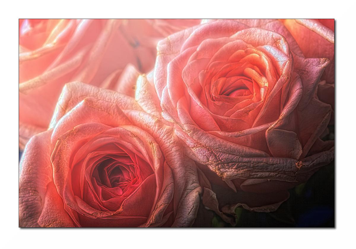 Roses are beautiful