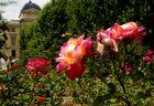 roses au jardin des plantes