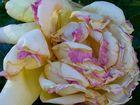 Roses d'Aphrodite