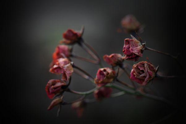 roses de janvier 2014