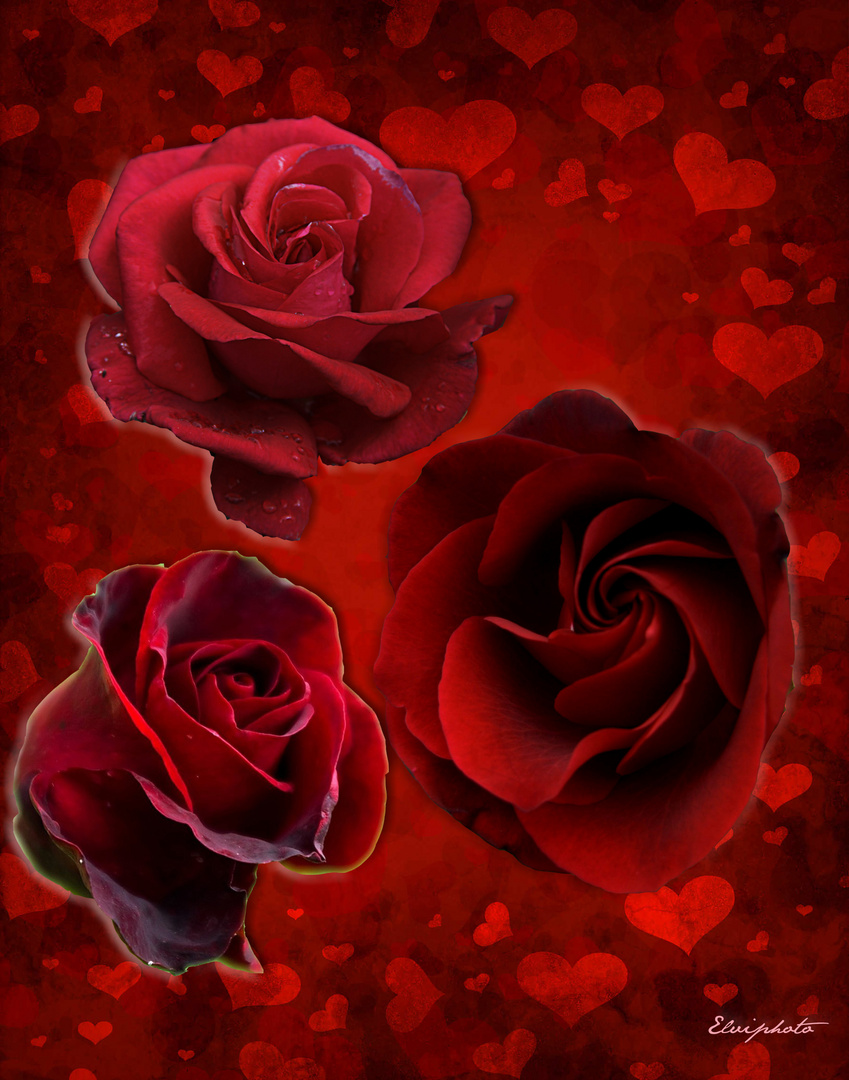 roses de la st Valentin