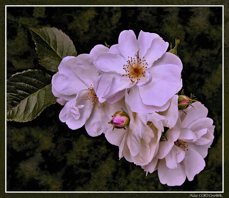 Roses de mon jardin...