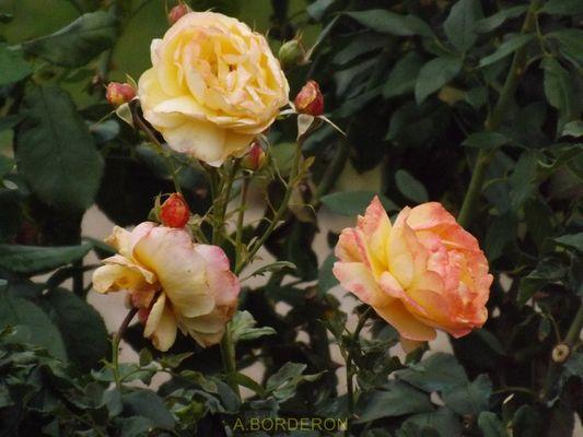 roses d'un jour d'automne