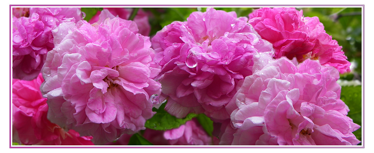 Roses en pleurs 2