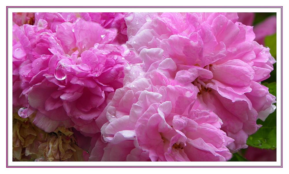 Roses en pleurs
