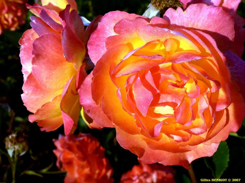Roses ensoleillées