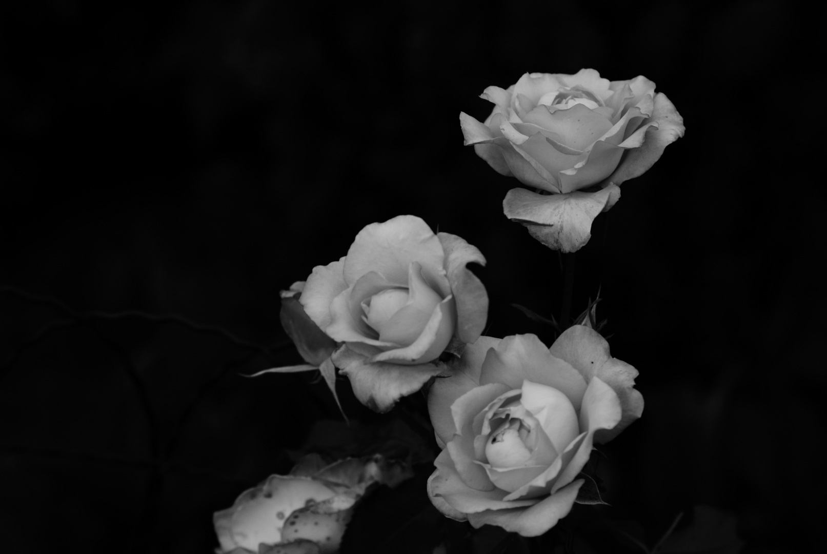 Roses in Darkness