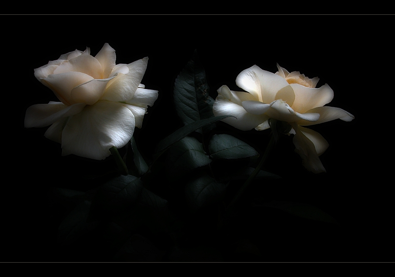 Roses of the night