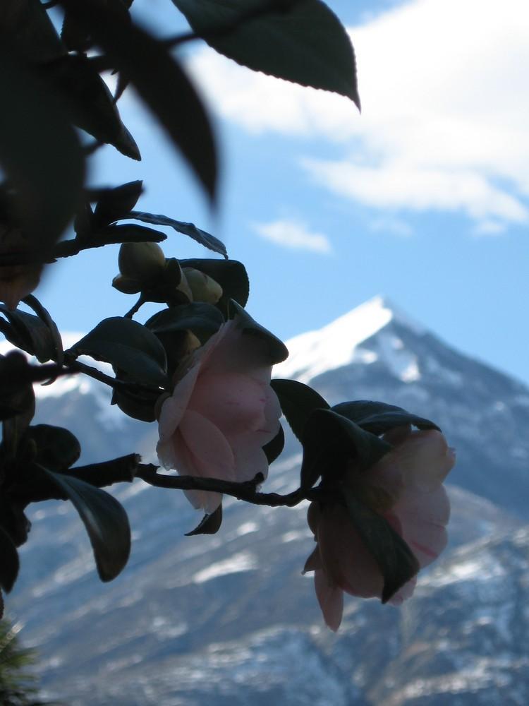 Roses, Snow Roses!