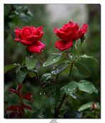 Roses sous la pluie .