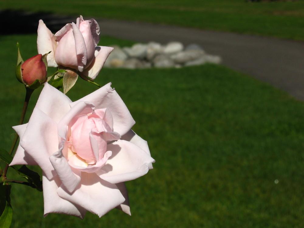 Roses & stones