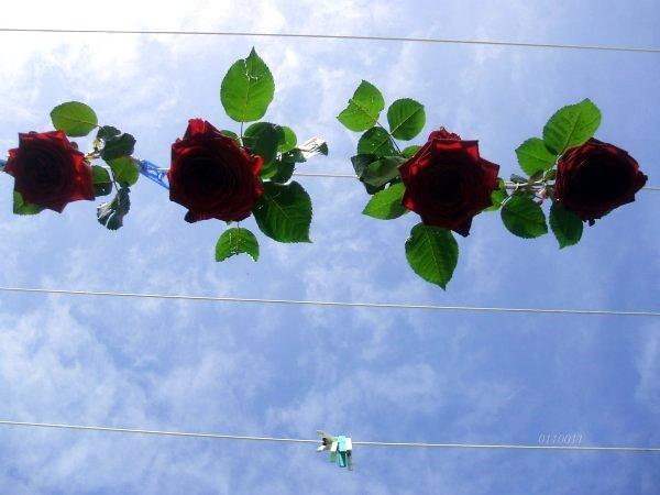 Roses suspendues