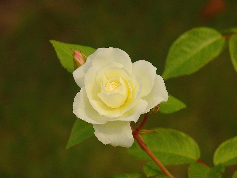 Roseschön