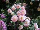 rosier.....