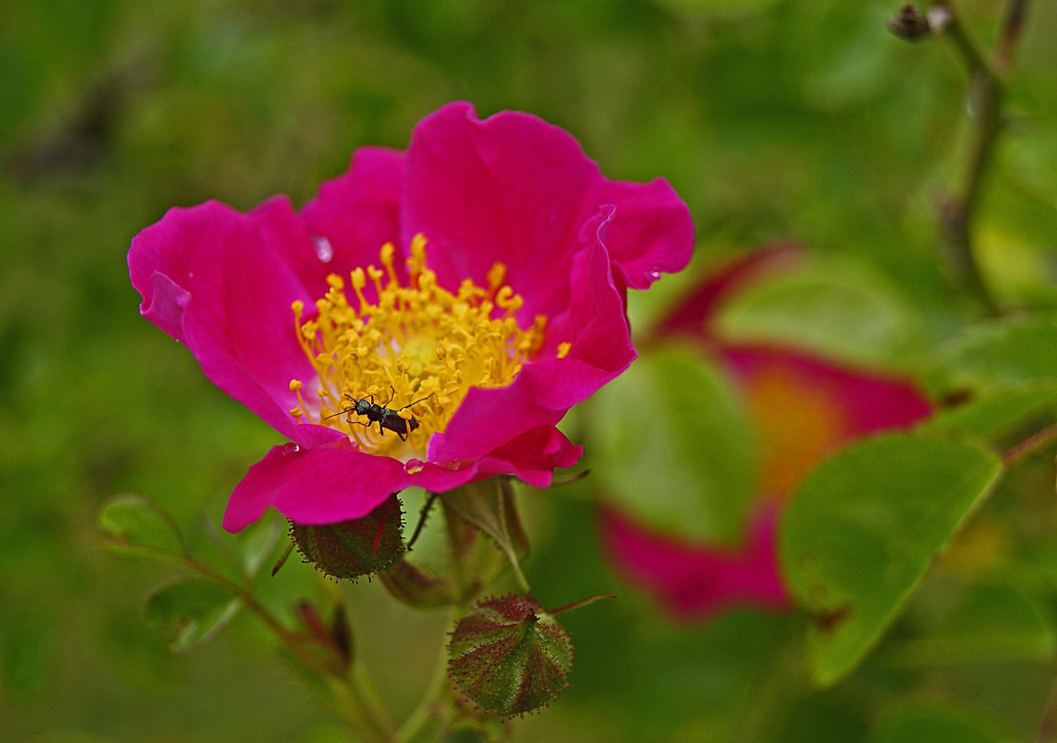 rosier, arboretum des barres