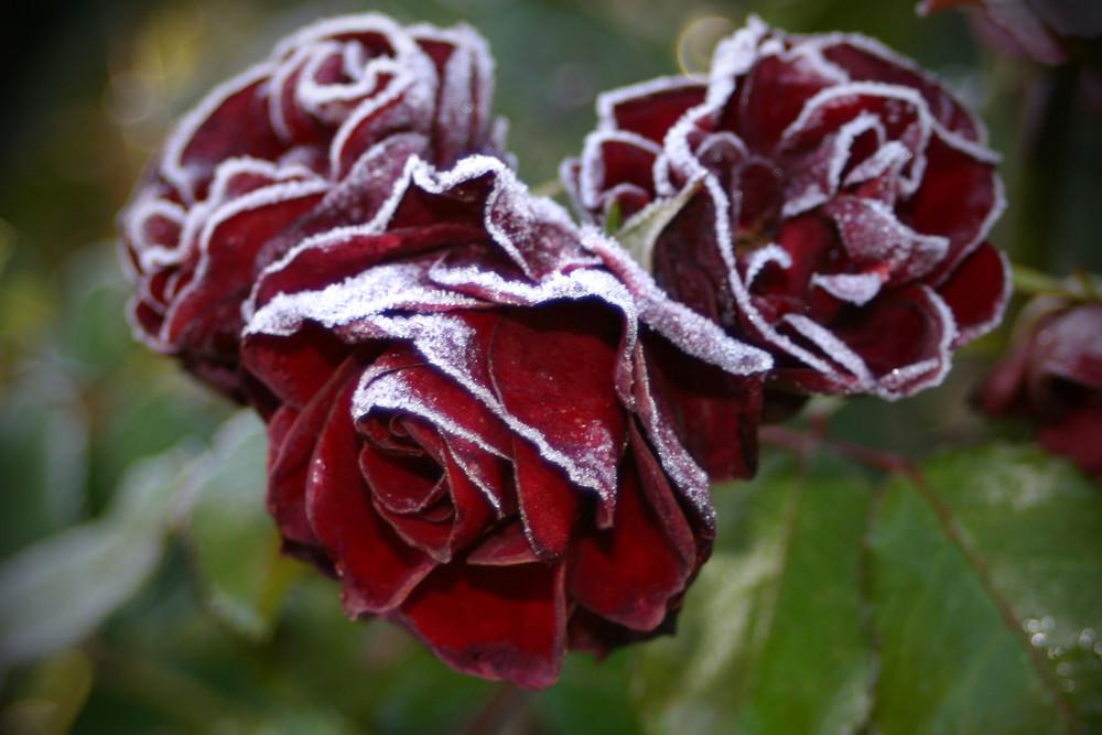 Rosig - das Original