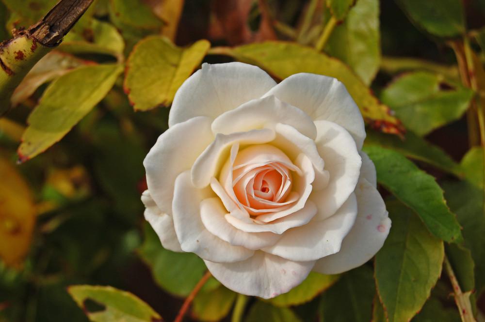 rosige Rose