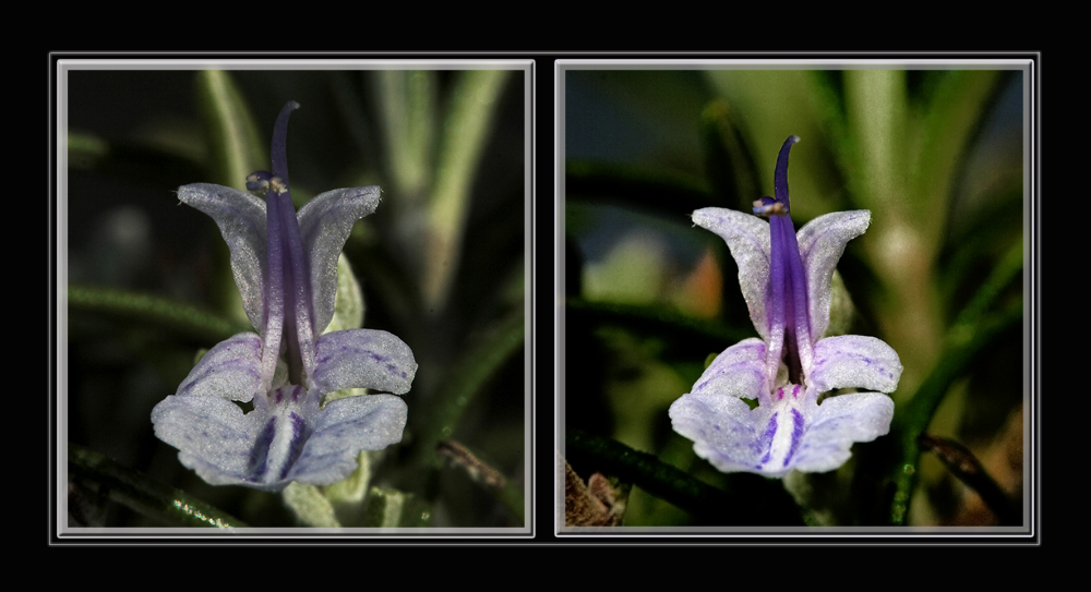Rosmarinblüte - Doppelsichten