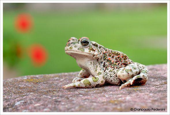 Rospo smeraldino (Bufo viridis)