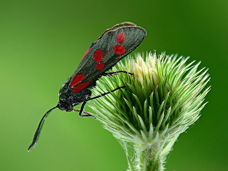 Rossa farfalla