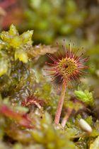Rossolis à feuilles rondes