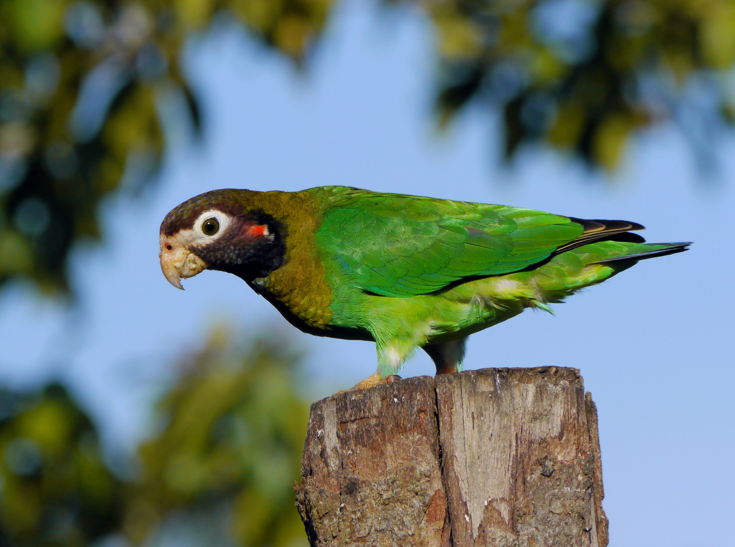 Rot - brauner Amazonenparrot