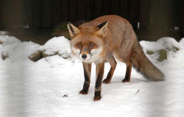 Rot Fuchs