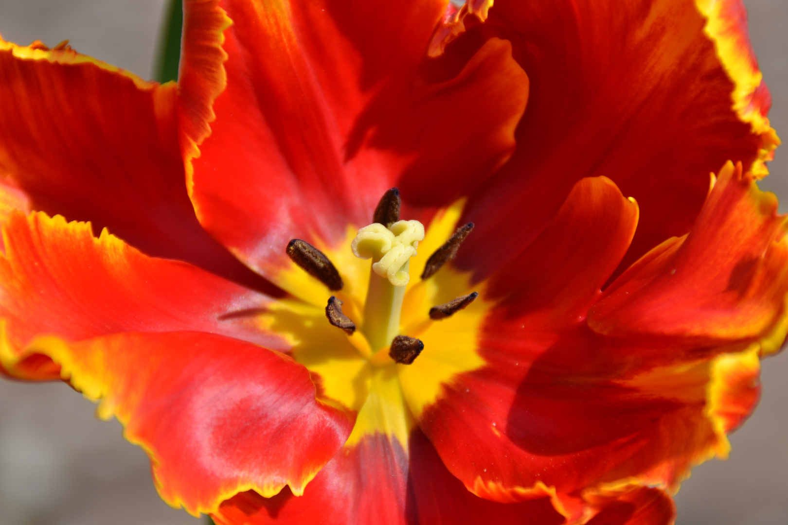 Rot gelbe Tulpe