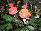 rot- orange Rosen