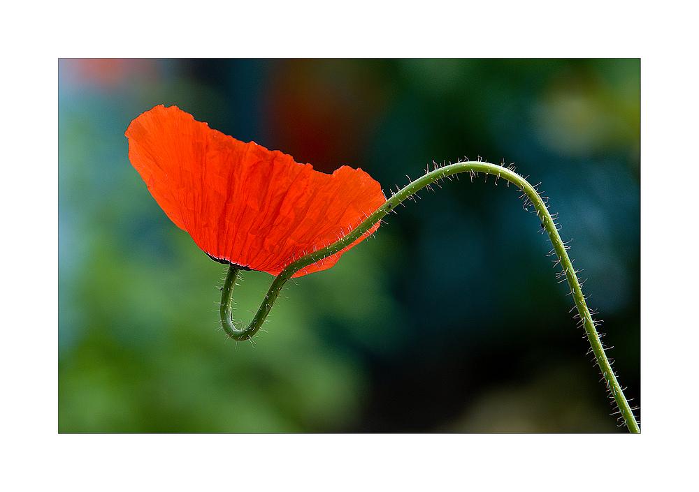 Rot, rot sind nicht nur die Rosen,...