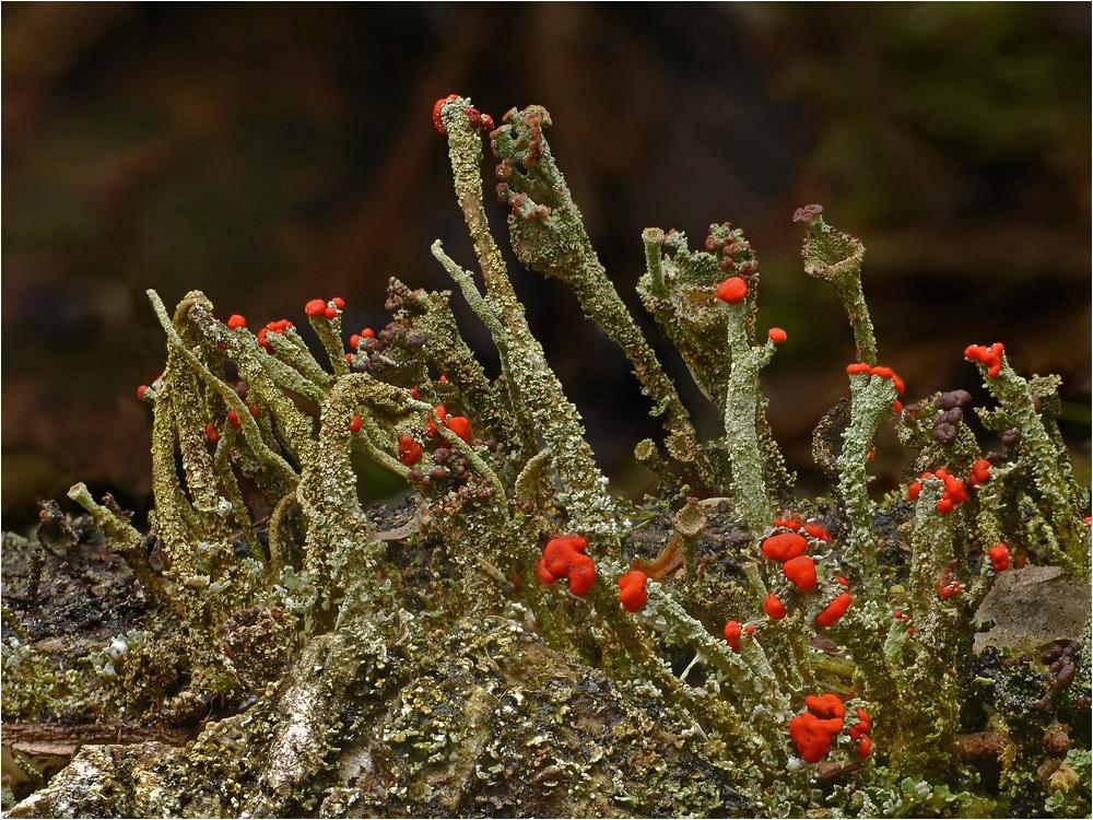Rot- und braunfrüchtige Flechten