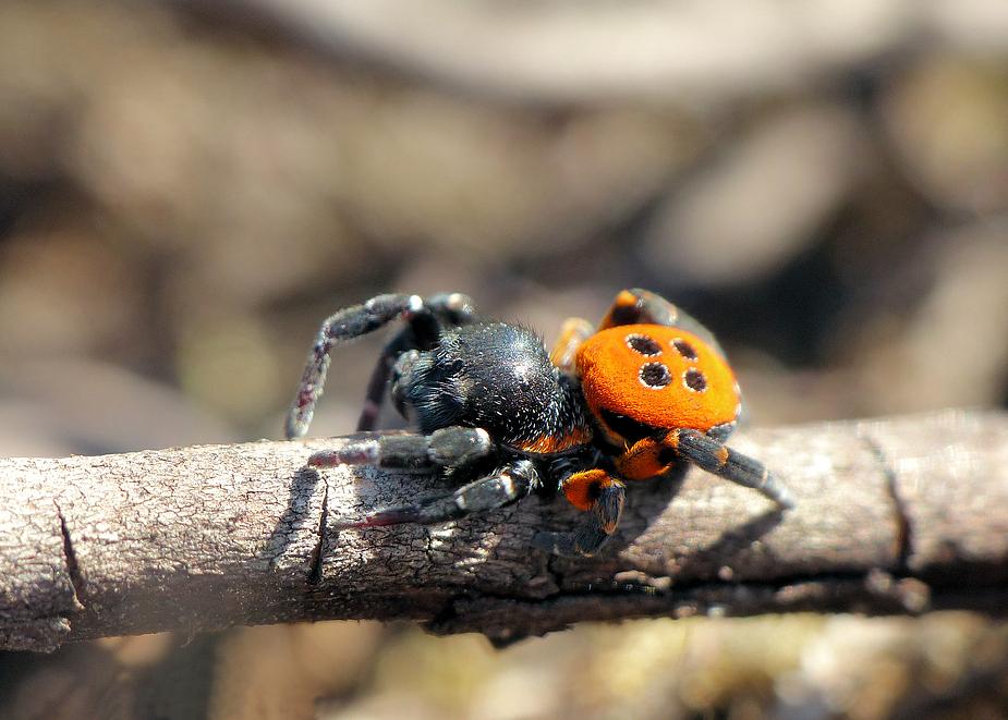 rot und giftig foto bild tiere wildlife spinnen. Black Bedroom Furniture Sets. Home Design Ideas