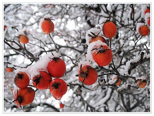 Rot unter dem Schnee...