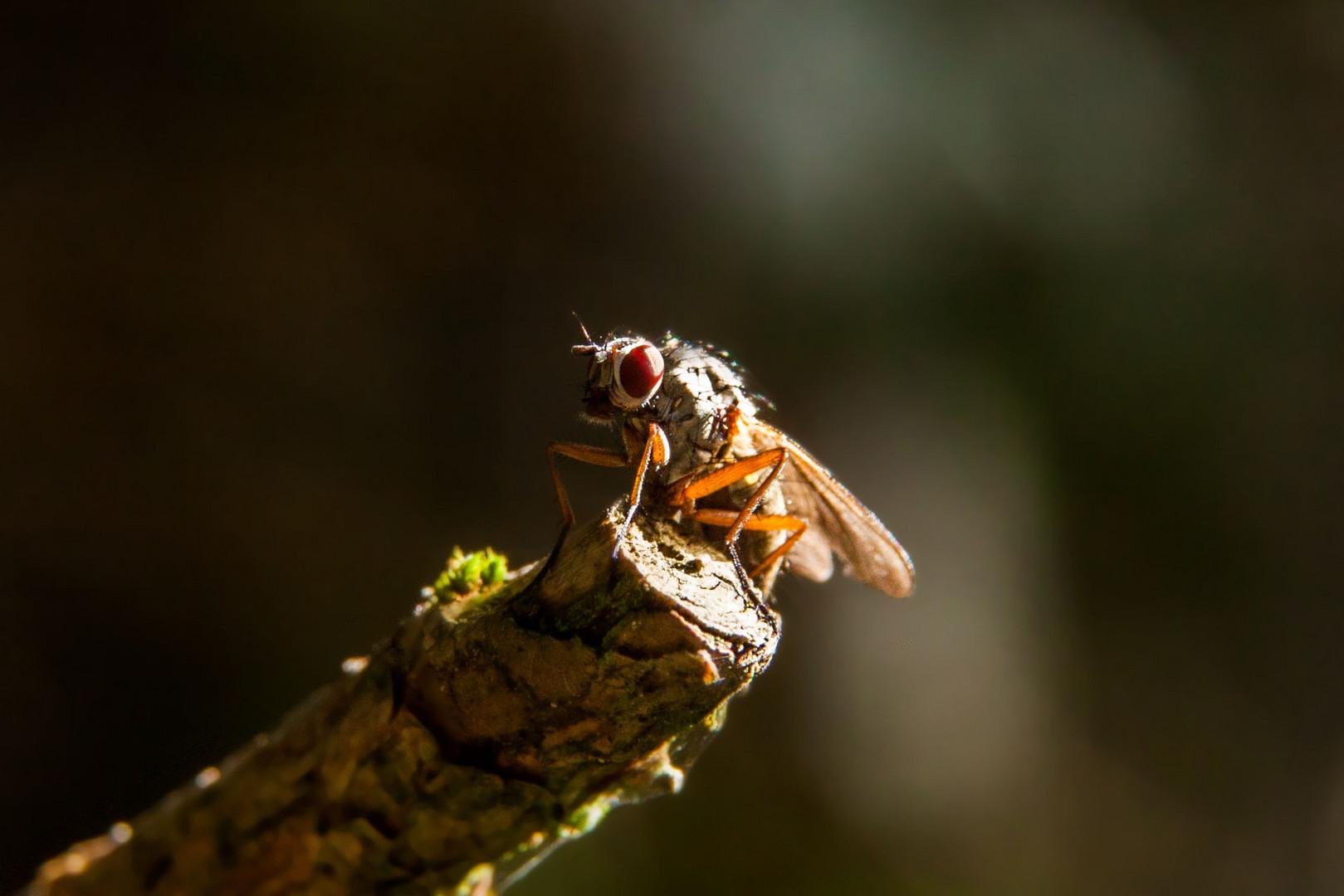 rotäugige Fliege