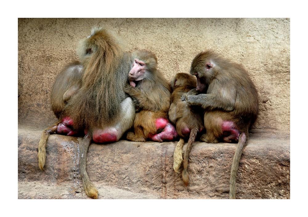 Rotarschpavian Foto & Bild | tiere, zoo, wildpark