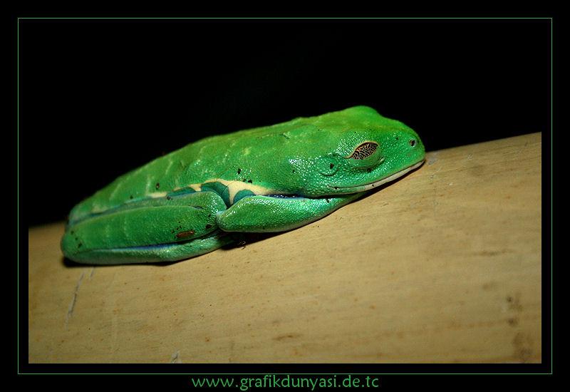 Rotaugenlaubfrosch - Agalychnis callidryas
