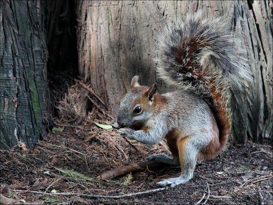 Rotbauchhörnchen