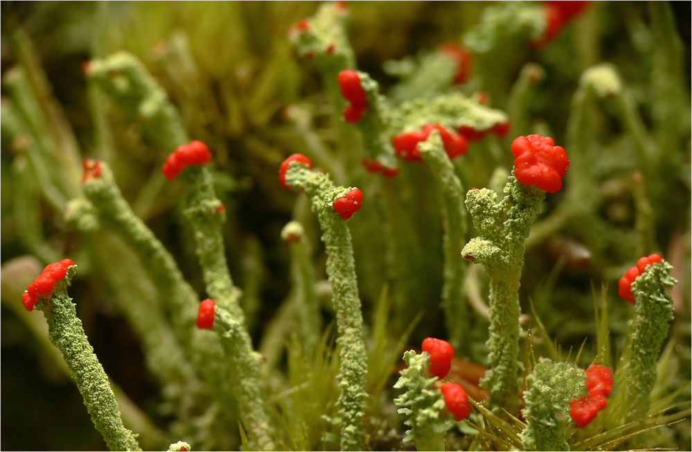 Rotblühend