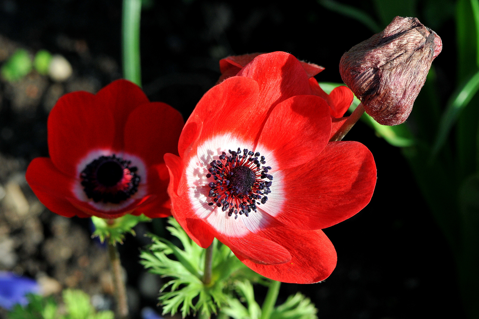 rotblühende Kronen Anemone (Anemone coronaria)