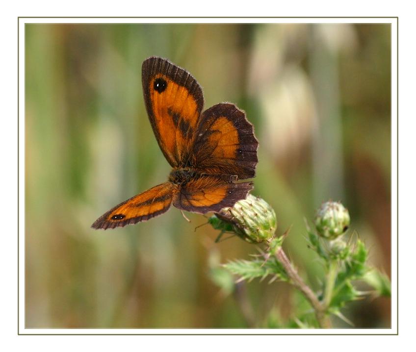 Rotbraunes Ochsenauge - Pyronia tithonus -